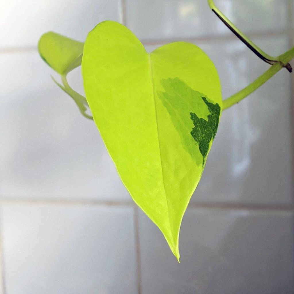 Neon pothos leaf